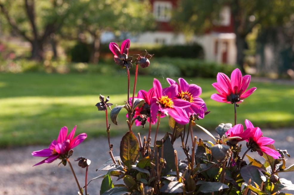 Cerisrosa blommor i plantering